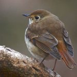 baby thrush pictures