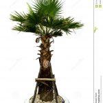 baby palm