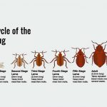 baby bed bug picture
