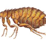 pictures of fleas