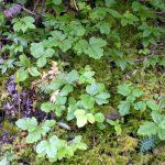 poison ivy oak sumac