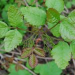 poison oak rashes pictures
