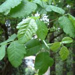 poison oak pictures