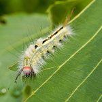 caterpillar stings