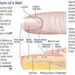 lateral nail fold